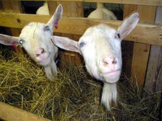 jak si vyprstit ukaž kozy